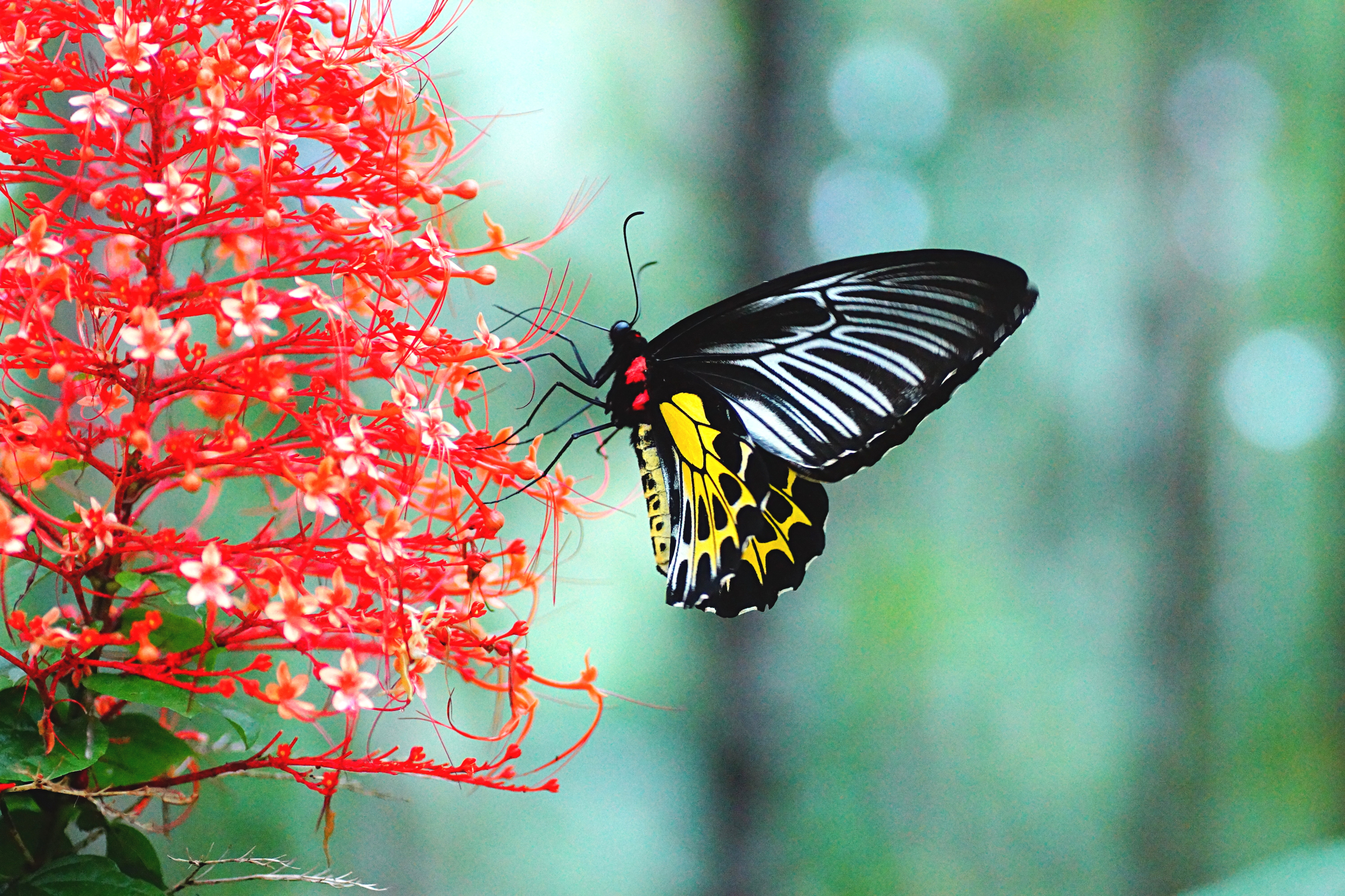Indian Flag Butterflies: Karnataka Adopts Southern Bird Wing As The State Butterfly