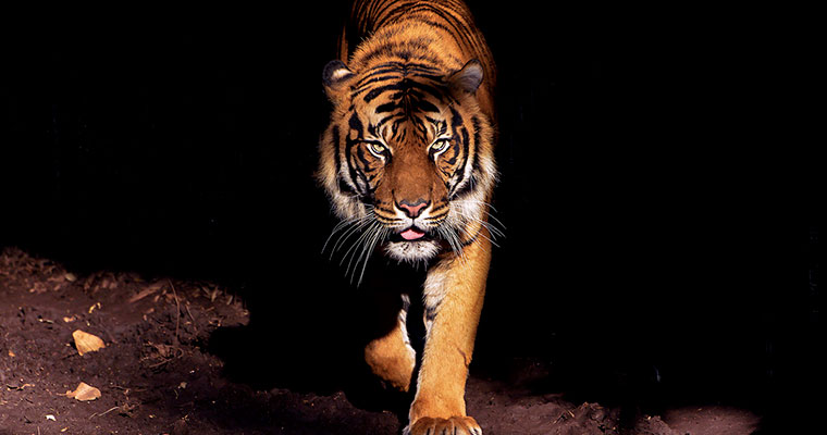 A jungle book story of love and revenge: Tiger in mourning kills his mate's poacher