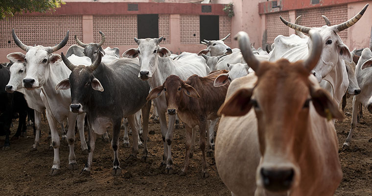 State Assembly Broaches Restrictions on Cattle Sale, Slaughter