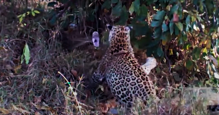 Watch: Epic fight between a rock python and a leopard