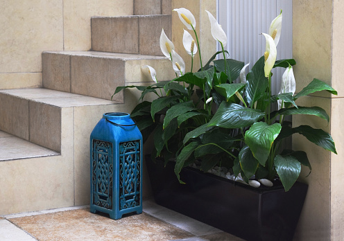peace lilies are great for offices to create a sense of calm during a hectic day or in bedrooms to provide a sense of and restful sleep